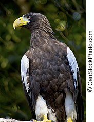 Stellars Sea Eagle Haliaeetus Pelagicus Perched Black White...