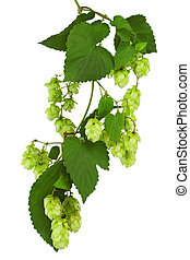 Green twig with mature cones of hop on a white background