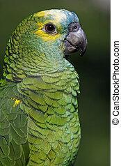 Blue-fronted, amazonka