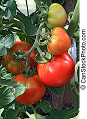 red and green tomatoes in hothouse