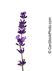 Lavender against white background - Lavender flowers...