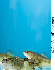 salmon swimming in aquarium - salmon swimming in the...