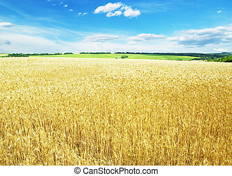 wheat  - Fields of wheat at the end of summer fully ripe