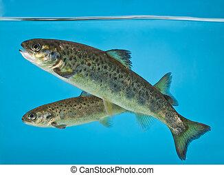 salmon swimming in aquarium - salmon swimming in the...