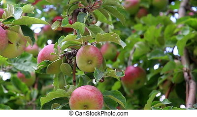 Apple harvest - Apple richly hung with ripe fruit