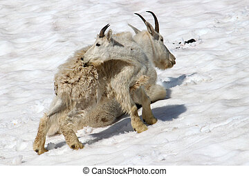 Mountain Goat Oreamnos americanus Juvenile - Young Mountain...