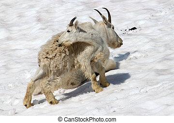 Mountain Goat (Oreamnos americanus) Juvenile - Young...