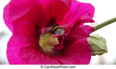 Bumble bee and nectar  -  bee sat on a big, bright flower