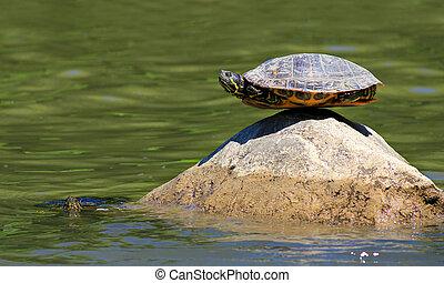 turtle doing yoga on the rock - turtle doing yoga finding...