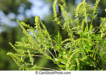 Ragweed plant - Flowering ragweed plant growing outside, a...