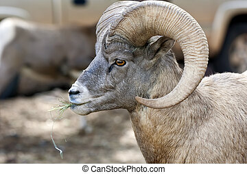 Bighorn Sheep - The Bighorn sheep (Ovis canadensis) is a...
