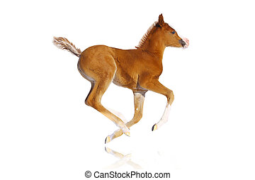 arab filly isolated - purebred arab filly isolated