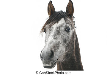 gray arabian horse isolated on white