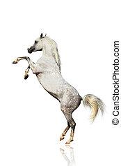 árabe, caballo, aislado