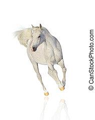 arab, 白色, 馬, 被隔离