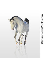 arab horse isolated
