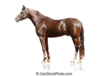 arab stallion isolated on white