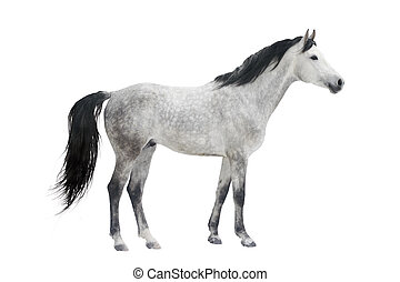 grey stallion isolated on white
