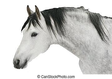 grey stallion - beautiful grey stallion isolated
