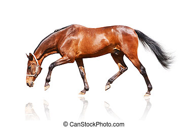 bay stallion isolated on white