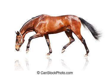 bay stallion isolated on white