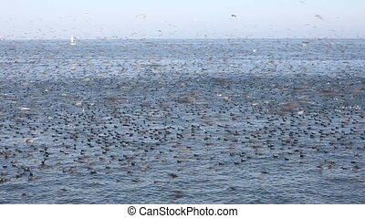 Birds - Thousands of birds feeding on anchovies in Santa...