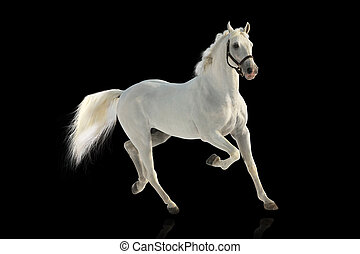 white stallion over black