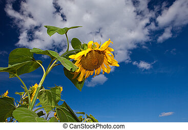 Closeup of sunflower against a blue sky background