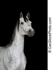 arab stallion on black