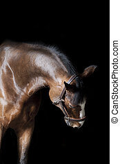horse indoors studio shot - purebred horse bending neck...