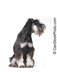 schnauzer isolated over a white