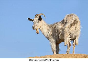 goat on a sky background