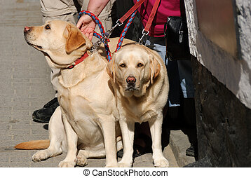 pair of Labradors in Port Isaac