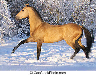 akhal-teke horse in winter