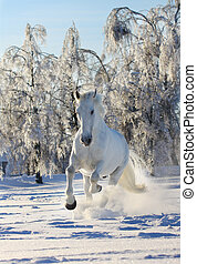 horse in snow - white horse in a winter running in snow