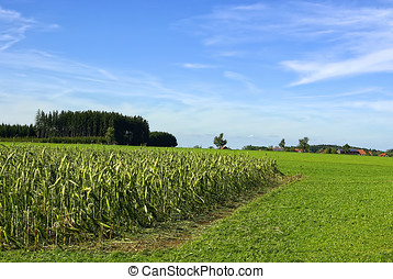 Hail Damaged Cornfield - A cornfield damaged by thunderstorm...