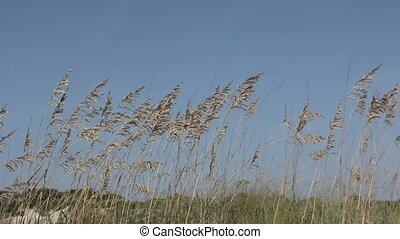 sea oats on blue sky - large group of sea oat blooms swaying...