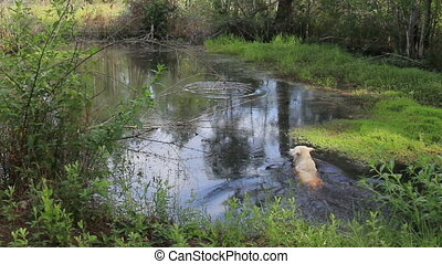 yellow lab in pond - young yellow lab jumping into shady...