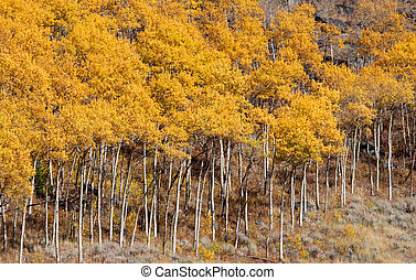 Aspen trees - Yellow aspen trees in Colorado in Autumn time