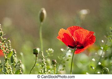 poppy flower  - Wild poppy flower at sunny day