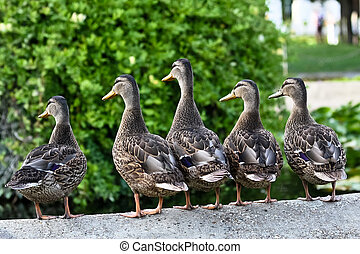 Five female ducks standing at a a fountain staring at...