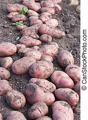 Desiree Potatoes - Desiree potatoes have been dug up from...