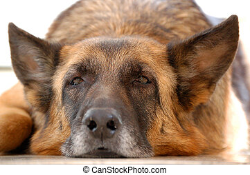 old tired dog, German Shepherd