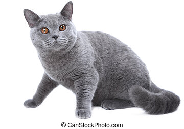 Studio portrait  of smiling beautiful young British blue cat sitting on isolated white background