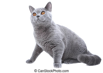 Studio portrait  of hunting beautiful young British blue cat sitting on isolated white background