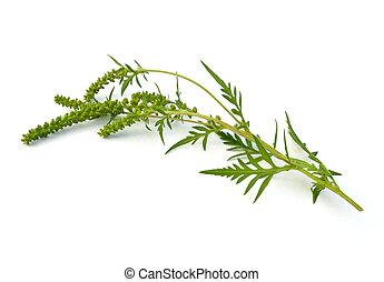 Ragweed - Common Ragweed (Ambrosia artemisiifolia) on a...