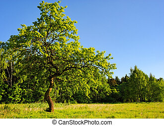 young oak tree in meadow - strong young oak tree in meadow...