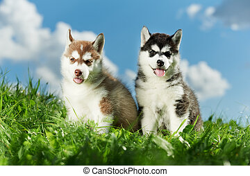 two Siberian husky puppy on grass - two little puppy of...