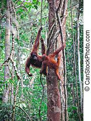 orangutang in rainforest