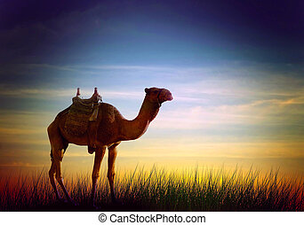 Camel in desert the African landscape